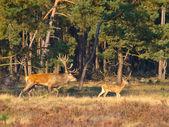 Male red deer (Cervus elaphus) with juvenile — Stock Photo