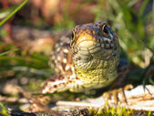 Sand lizard portrait frontal — Stock Photo