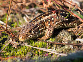 Sand lizard portrait side up — Stock Photo