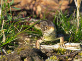 Sand lizard portrait wide — Stock Photo