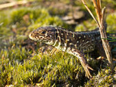 Sand lizard portrait — Stock Photo