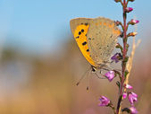 Small Copper butterfly, Lycaena phlaeas — Stock Photo