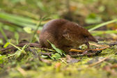 Common shrew (Sorex araneus) eating worm — Stock Photo