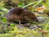 Yiyecek kokusu ortak sivri faresi (Sorex araneus — Stok fotoğraf