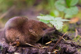 Common shrew (Sorex araneus) close up — Stock Photo