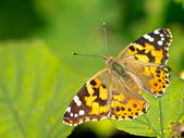 Painted lady (Vanessa cardui) sitting on leaf in the sun — Foto Stock