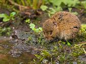 Vield vole (Microtus agrestis) — Foto de Stock