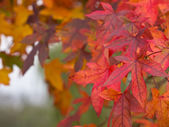 Maple leafs sonbahar renkleri — Stok fotoğraf