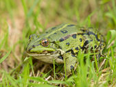 Edible Frog (Pelophylax kl. esculentus — Stock Photo