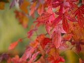Red and orange maple leaves — Stock Photo