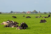 Resting cows in dutch agricultural landscape — Stock Photo