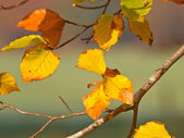 Yellow colored beech leaves on a branch — Stock Photo