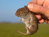 Vield vole (Microtus agrestis) kept in hand by researcher — Stock Photo