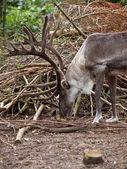 Close up of a male reindeer in natural habitat — Stock Photo