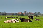 Cows are resting with farm and tractor in backdrop — Stock Photo