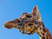 Giraffe head looking left — Stock Photo