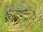 Edible Frog (Pelophylax kl. esculentus) resting in grass — Stock Photo