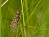 Grashopper in an abstract grass decor — Stock Photo