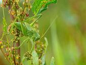 Great Green Bush-Cricket — Stock Photo