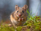 Wild mouse sitting on hind legs — Stock Photo