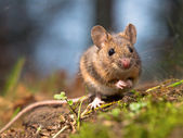 Wild wood mouse — Stock fotografie