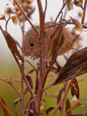 Harvest mouse peeking — ストック写真