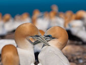 Socializing gannets — Stock Photo