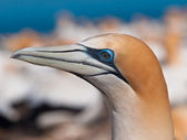 Close up Gannet head — Stock Photo