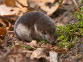Crowned shrew — Foto de Stock