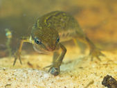 Female newt lissotriton vulgaris — Stock Photo