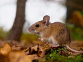Yellow necked mouse side — Stock Photo
