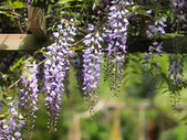 Wisteria on pergola — Stock Photo