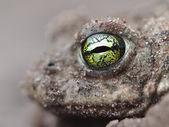 Gele ogen van een pad rugstreeppad — Stockfoto