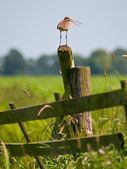 Alarming Black-tailed Godwit — Stock Photo