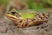 Sunbathing edible frog — Stockfoto