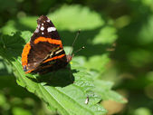 Admiral butterfly resting on nettle — Stock Photo