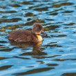 Cute little duckling — Stock Photo #14712217