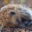 Photo: Young juvenile hedgehog