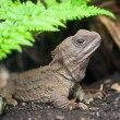 Tuatara new zealand native reptile - Stock Photo