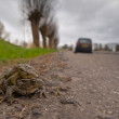 Mating toad are crossing a road — Stockfoto