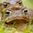 Common Toad (Bufo bufo) in amplex - Photo