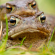 Common Toad (Bufo bufo) in amplex - Foto de Stock