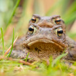 Pair of Common Toad - Photo