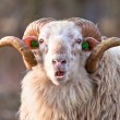 Ridiculous sheep — Stock Photo #14714871
