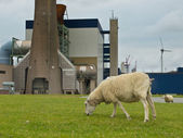 Grazing sheep — Stockfoto