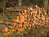 Pile of freshly cut logs — Stock Photo