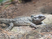 The Tuatara — Foto de Stock