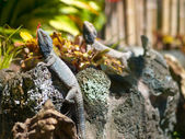 Three basking lizards — Stock Photo