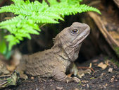 Reptiles indigènes de nouvelle-zélande tuatara — Photo