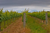 Vineyard rows — Stock Photo
